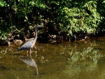 Blue Heron in the pond
