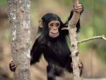 young chimpanzee climbing gombe national park tanzania