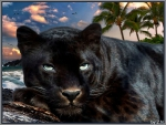 black cougar rests..........