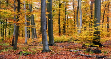 Autumn In The Forest - forest, autumn, yellow, trees, trunks, leaves, limbs, bunch, nature, falls