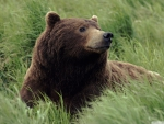 grizzly bear near mcneil river alaska