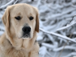 labrador retriever winter