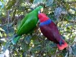 Noble Parrots