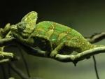 exotic chameleon