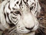 Mohan,white tiger