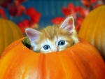 ..Kitten in Pumpkin..