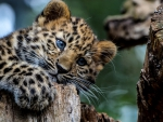 Leopard - Blue, eyes