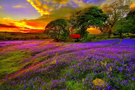 LAVENDER FIELD - LAVENDER, FIELD, NATURE, SUNSET, HOUSE