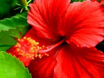 RED HIBISCUS ~ EMBLEM of NATIONAL PRIDE