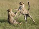 playful cheetahs