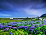 LUPIN FIELDS