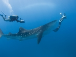 WHALE SHARK FRONT OF DIVER