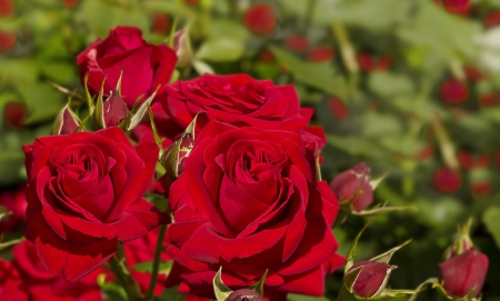 * Lovely roses * - red rose, petals, lovely, roses