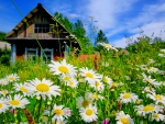 House in daisies meadow