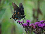 Black Butterfly on Purple Flowers