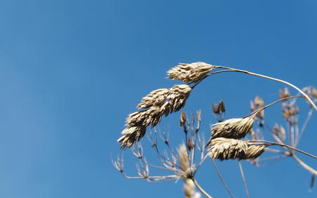 Grass in the blue - grain, in, grass, wheat, the, nature, blue