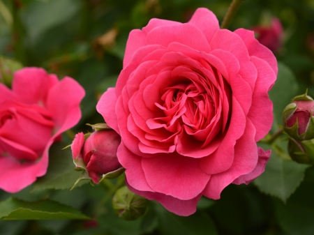 Summer Roses Bloom - leaves, rose, flowers, blossoms, nature, petals, buds