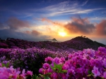 Sunrise with the royal azalea in South Korea