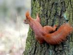 * Squirrel *