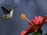 Hummingbird and Hibiscus flower