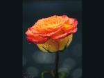 Amber dewy rose