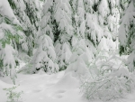 All White Winter Forest
