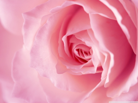 softly pink rose - pink rose, still life, flowers, softly