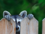 Peek A Boo Raccoon