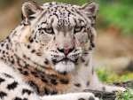 white snow leopard