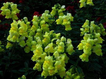 Little yellow bells flowers nature background wallpapers on little yellow bells flowers bells little yellow mightylinksfo