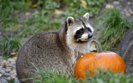 Raccoon - orange, halloween, black, raccoon, animal, cute, green, pumpkin, grey