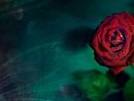 Red Rose Velvet