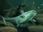 north american channel catfish