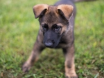 german shephard puppy playing