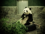 Panda Having Lunch