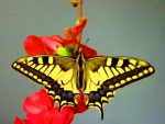 Swallowtail Butterfly on Flowers