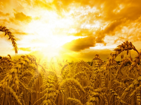 warmth of the sun - sun, Wheat, warmth, Snapple, nature