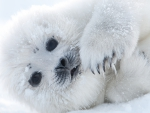 Cute Seal Pup