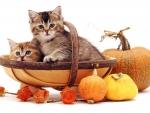Kittens in a trug basket