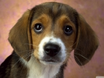 beagle puppy eyes