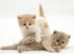 Cute Persian cross kittens