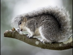Delmarva Peninsula fox squirrel