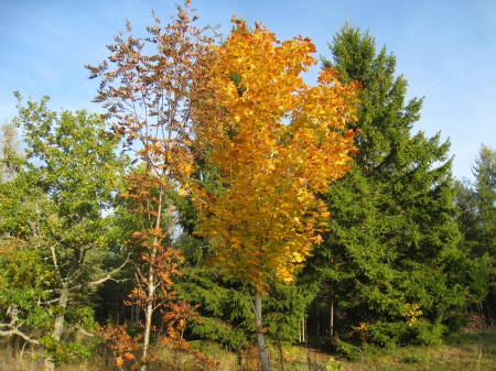 Maple - garden, color, yellow, sky, blue, maple, tree
