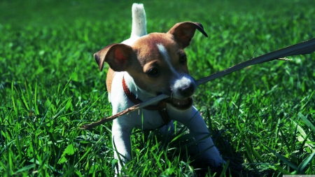 playful jack russell puppy, - playful, jack, russell, puppy
