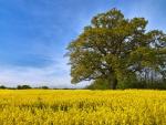 swedish field