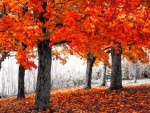 Orange AutumnTrees