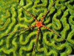 brittlestar on brain coral