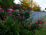 Rosy Fence