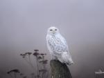 Snowy owl II.