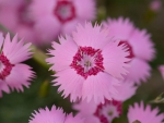Indian carnation